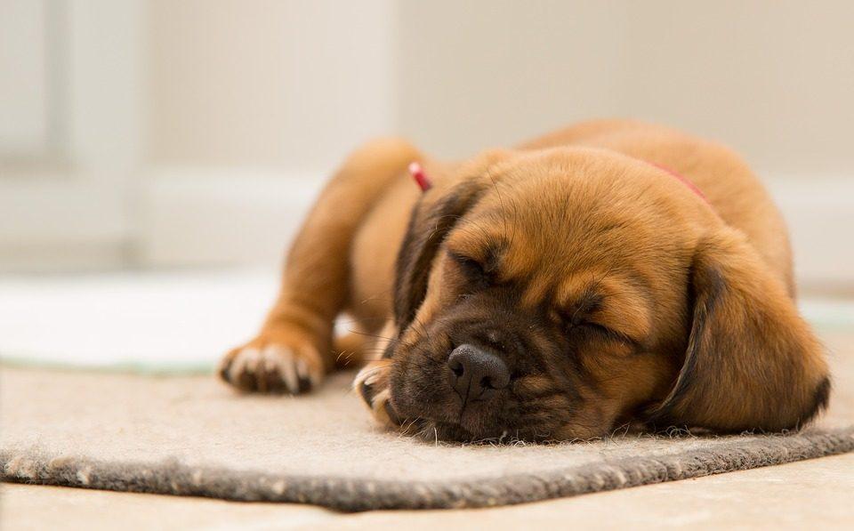 Hundens vila och sömn